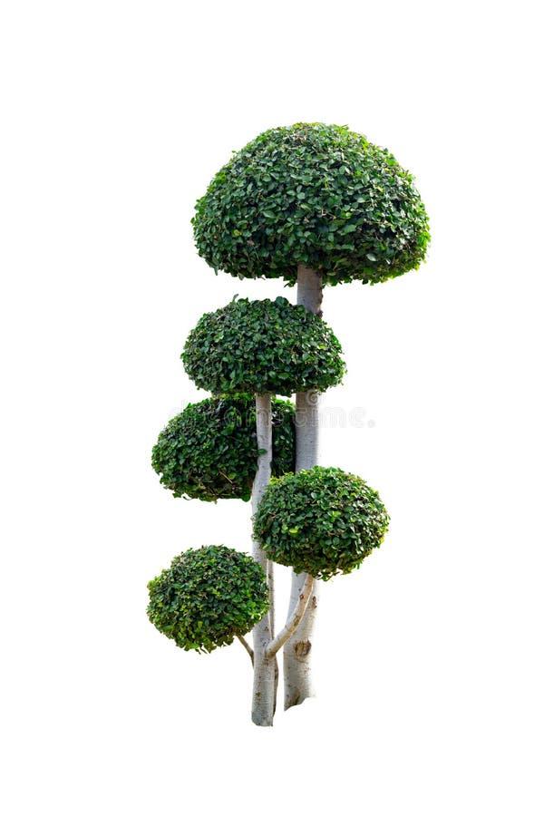 Takobomen het buigen Geïsoleerde boom op wit stock fotografie