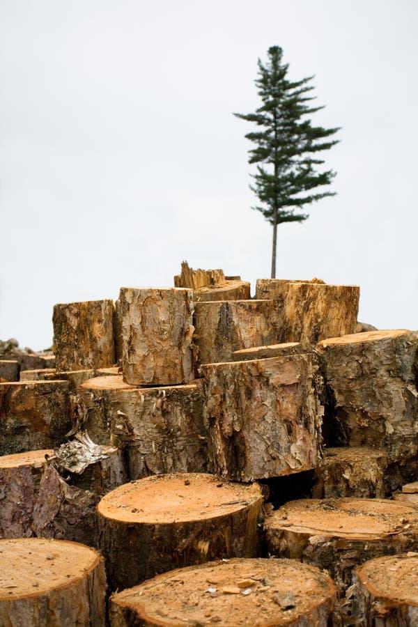Tala de árboles. Ecología. Abeto. fotos de archivo