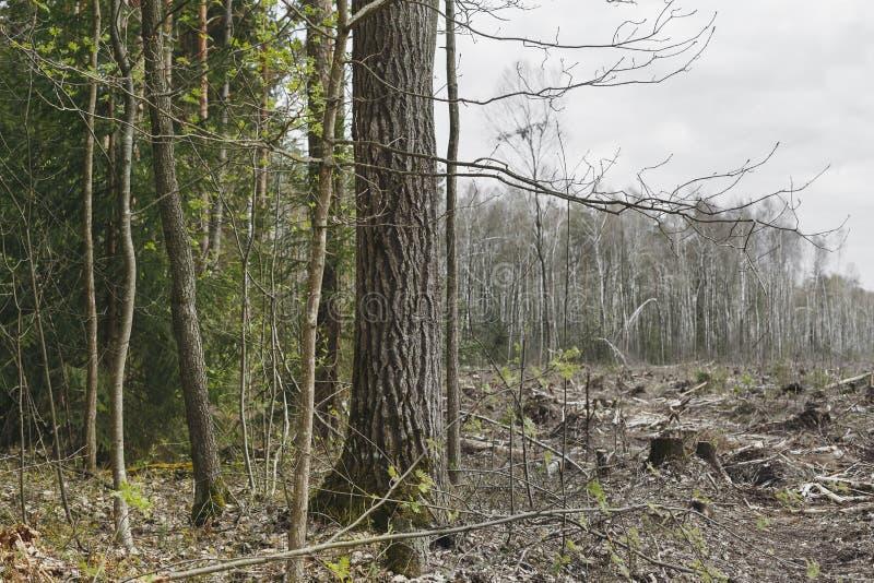 Tala de árboles, parte sin vida de la ecología del bosque imagen de archivo