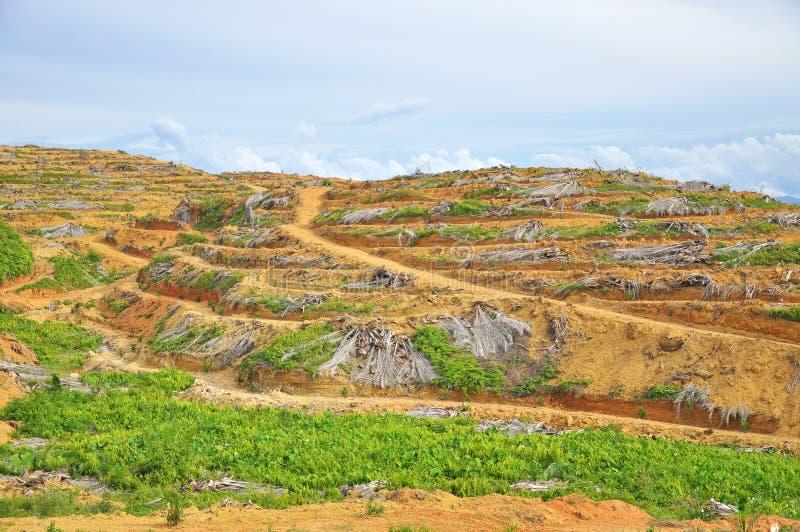 Tala de árboles y replantación de la palmera joven del aceite fotos de archivo