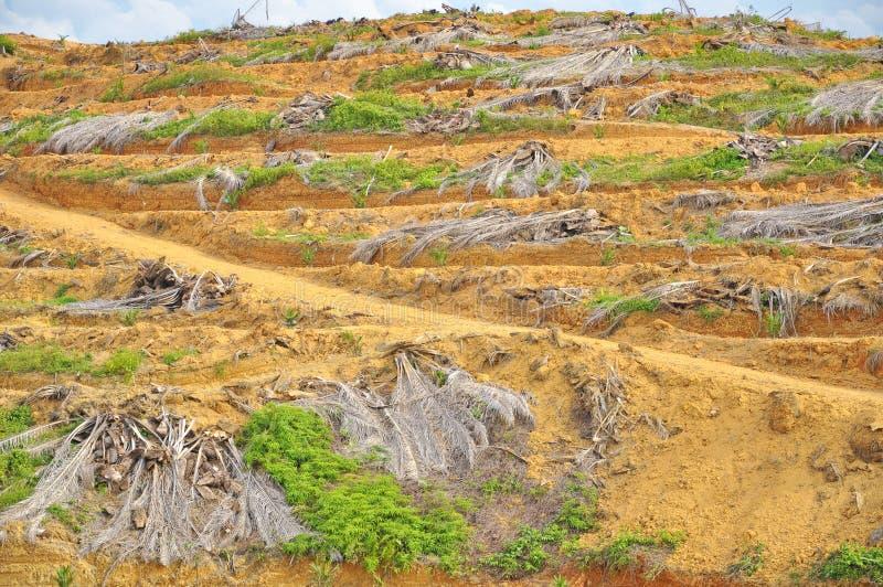 Tala de árboles y replantación de la palmera joven del aceite fotografía de archivo libre de regalías