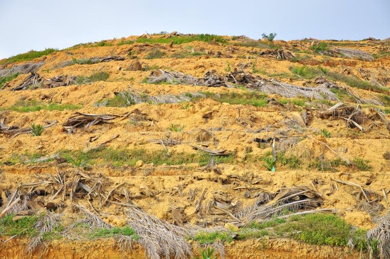 Tala de árboles y replantación de la palmera joven del aceite imagen de archivo libre de regalías