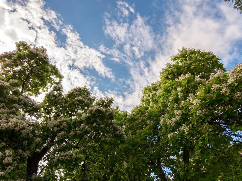 Tale bellezza può essere osservata una volta all'anno in primavera Castagne sboccianti contro il cielo blu fotografia stock libera da diritti