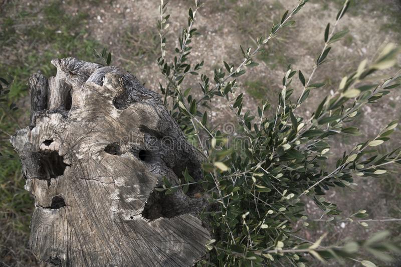 Tale un olivo dio nuevos lanzamientos La vida encuentra la manera correcta nueva vida del árbol viejo foto de archivo libre de regalías