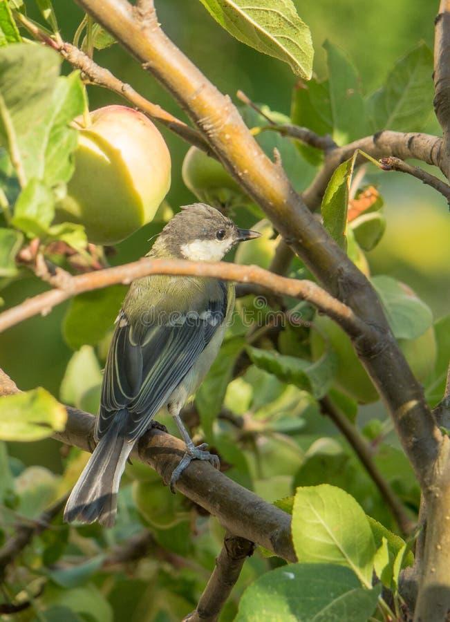 Talgoxe på äppleträd arkivbild