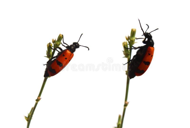 Download Talking beetles stock image. Image of animal, dots, talking - 10173025