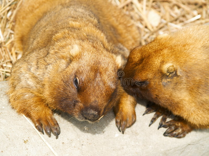 Talking gophers. Two red gophers lying on a ground and talking about something royalty free stock image