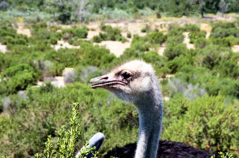 Talking Head Ostrich At Farm In Solvang royalty free stock image