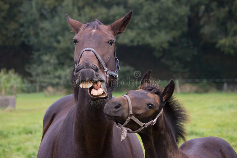 Talking horse with foal. Mare talks to her foal royalty free stock image