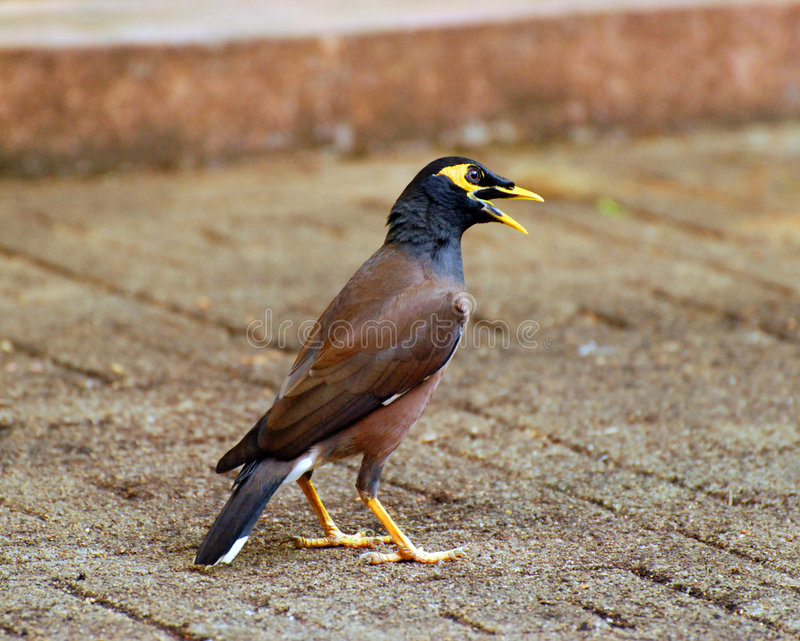 Talking Mynah royalty free stock photos