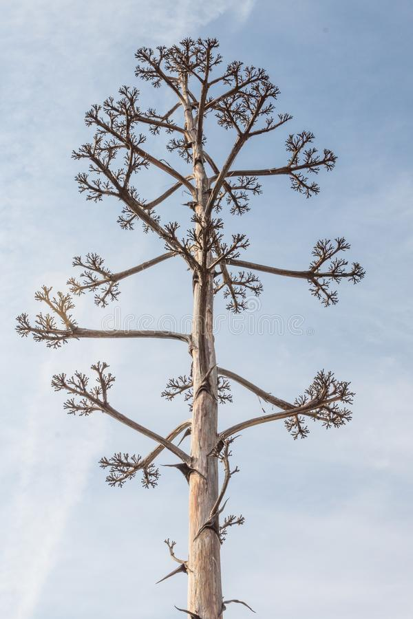 Tall agave plant flower stalk after blooming with multiple branches, dead, against a blue sky stock photography