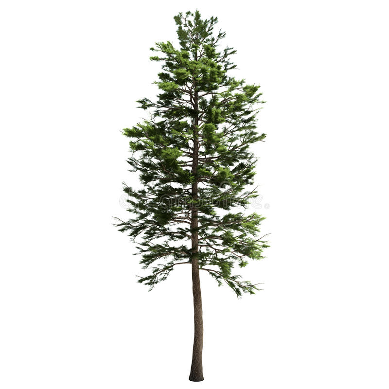 Free Tall American Pine Tree Isolated Royalty Free Stock Photos - 34045508