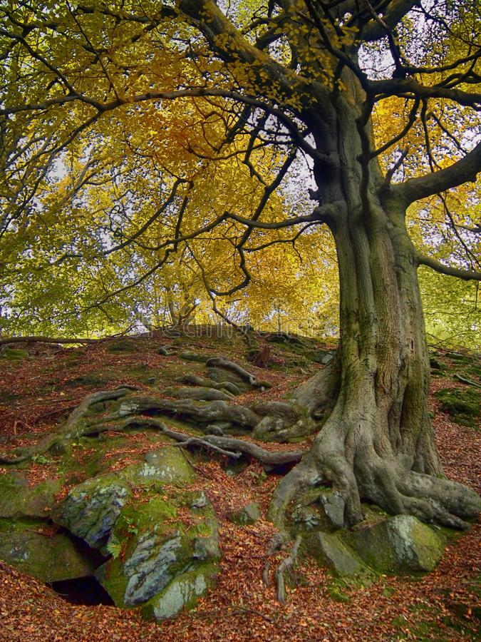 A tall ancient beech tree with green textured bark and golden yellow autumn foliage and twisted exposed roots in mossy rocks royalty free stock images