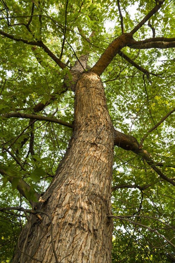 Tall ash tree. In Belgrade, Serbia stock photography