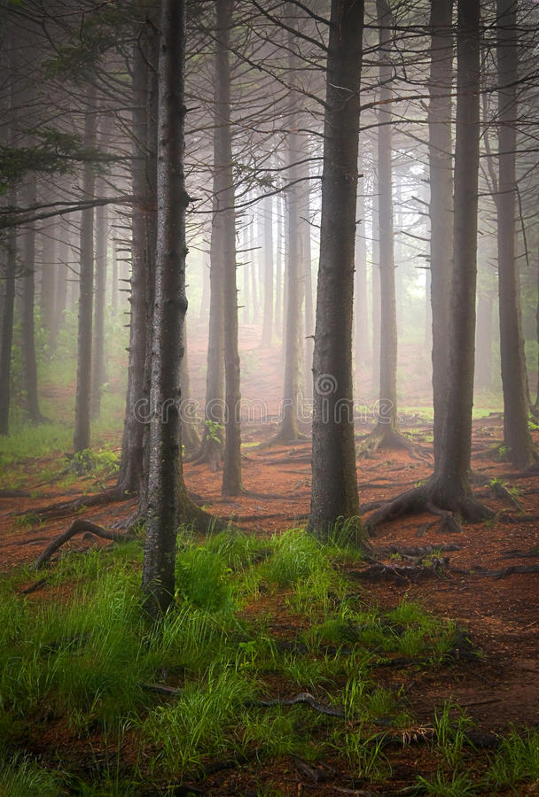 Tall Balsam Trees in Creepy Forest Fog royalty free stock photography