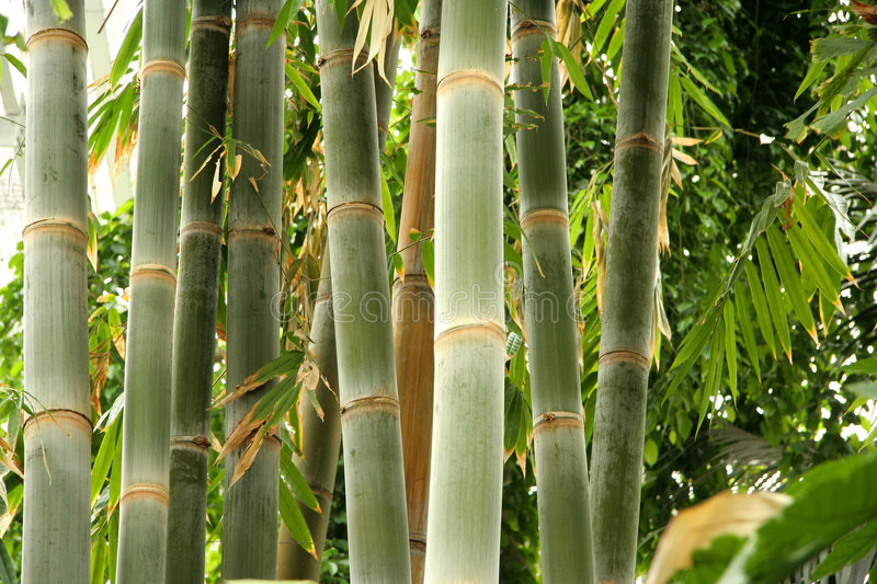 Download Tall bamboo stock photo. Image of asia, serenity, oriental - 111050