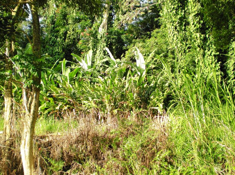 Tall Banana Trees, Flowers, Sugar Cane, Leafy Plants, and Trees in the Tropical Rainforest Jungle royalty free stock photo
