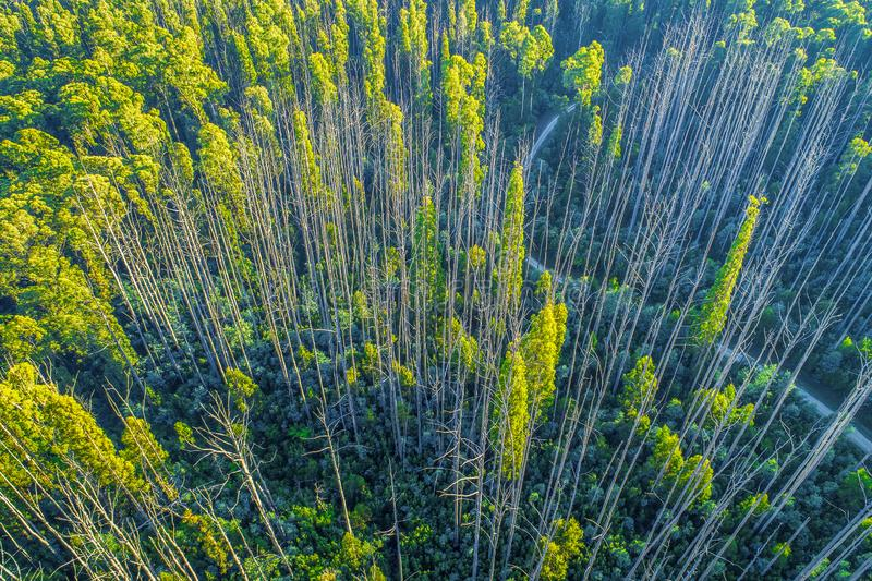 Tall bare eucalyptus trees recovering from bush fire. stock photography