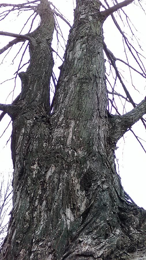 Tall Bare Tree in the Woods royalty free stock images