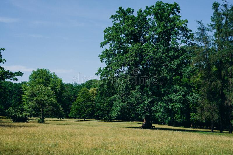 Tall beautiful oaks in the park. Oak forest on a summer sunny day. Tall trees on a sunny green lawn.  stock images