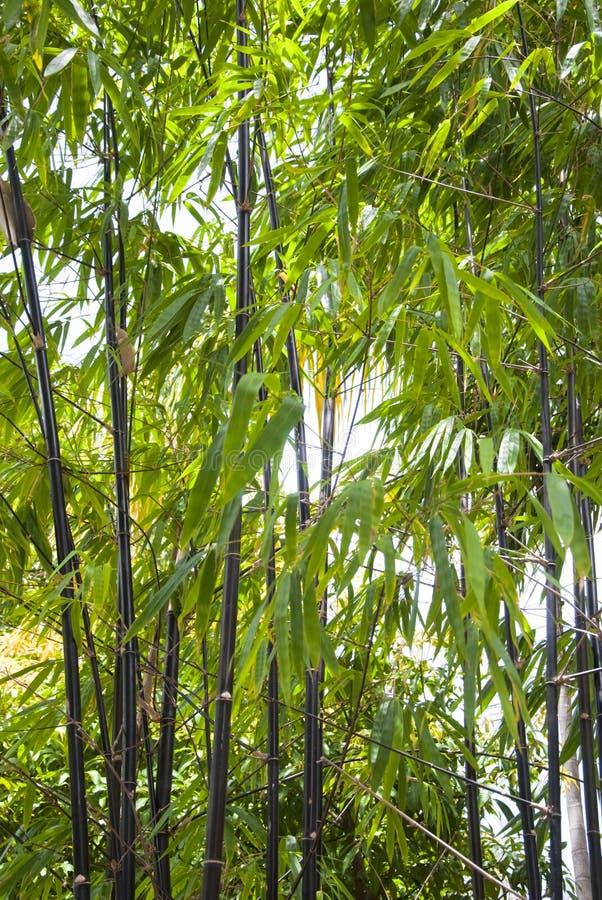 Tall Black Bamboo Growing stock photography