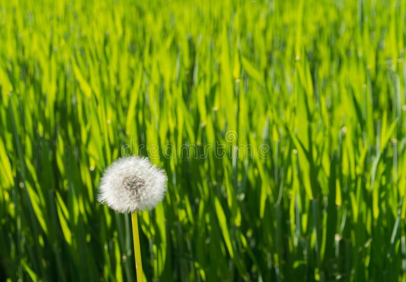 Tall blades of green grass in golden warm evening light with one white dandelion. Horizontal background of tall blades of green grass in golden warm evening stock photography