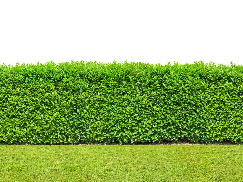 Tall bush hedge with grass isolated on white. Seamless endless stock image