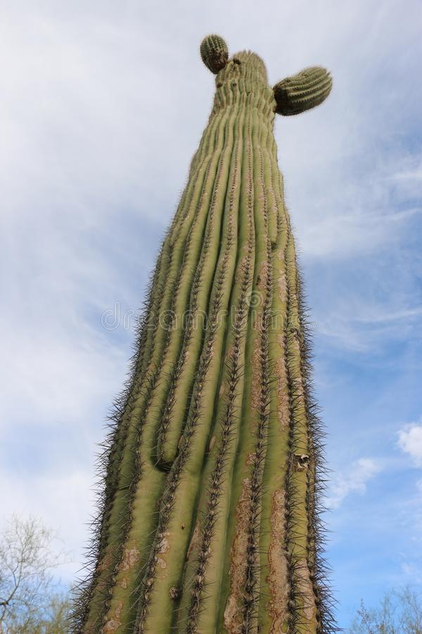 Tall cactus touching the blue perfect sky royalty free stock photos
