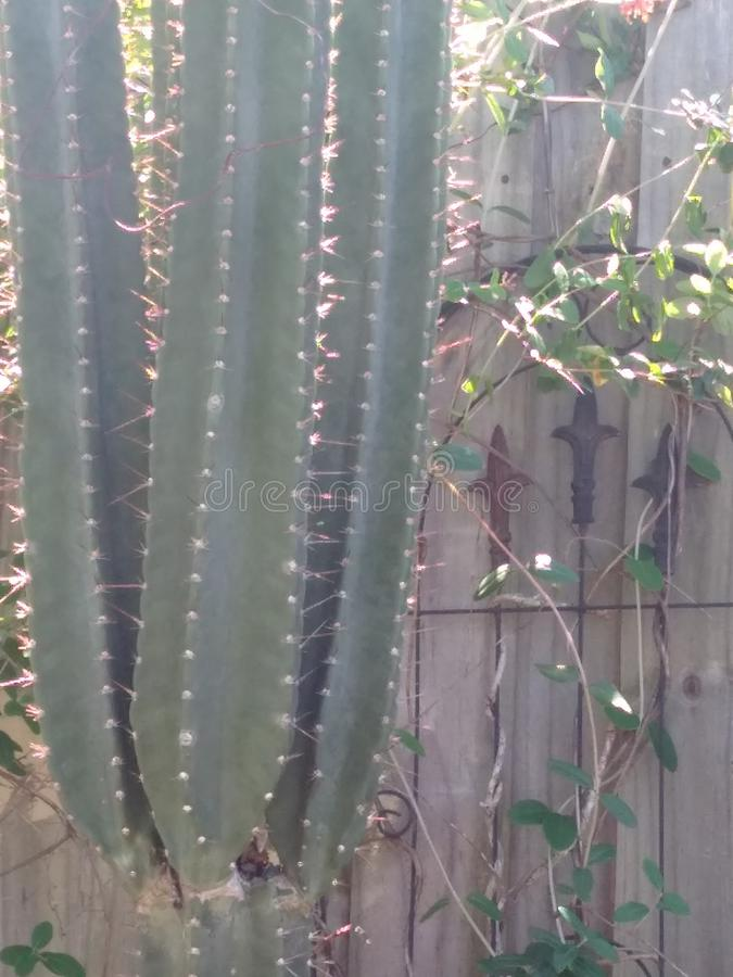 Tall Cactus on a wooden fence stock image