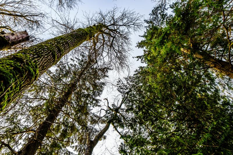 Tall Cedar and Pine Trees along the Trans Canada Trail near the Bonson Community in Pitt Meadows, BC, Canada stock photo