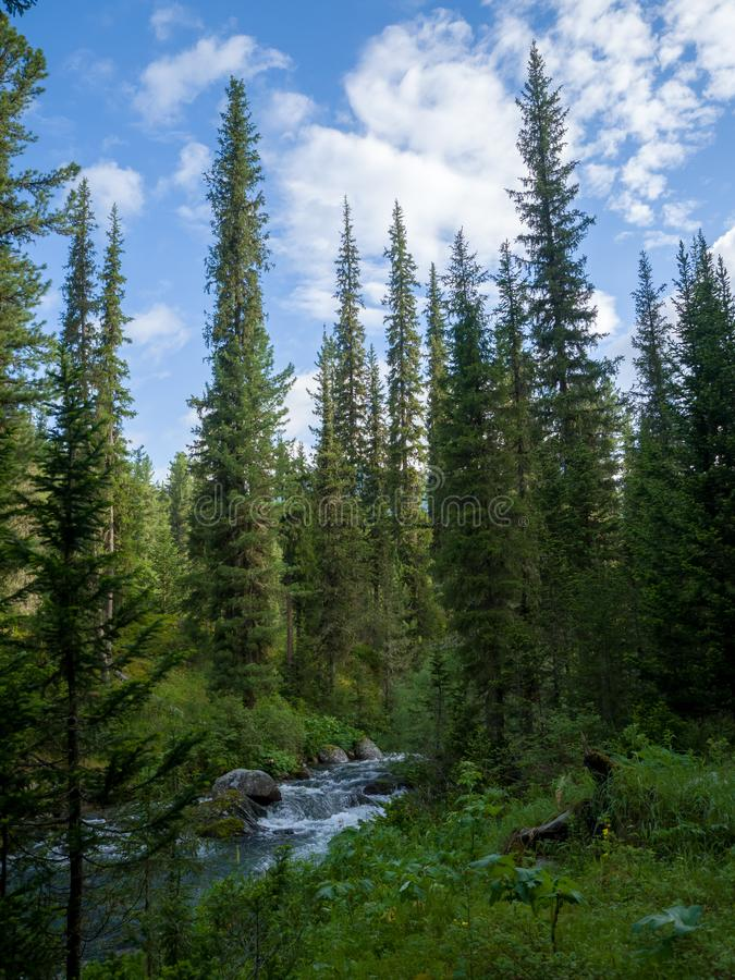 Tall Christmas trees near a mountain stream. Wild nature stock images