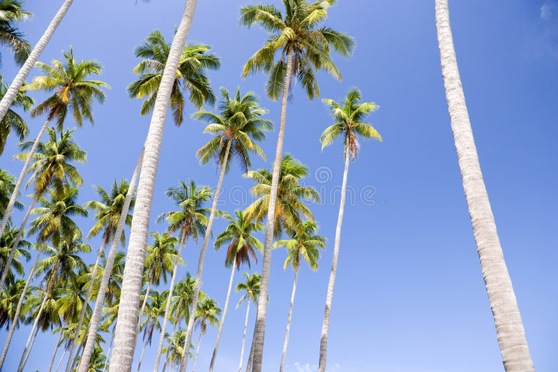 Download Tall Coconut Palm Trees stock image. Image of coconut - 4770173