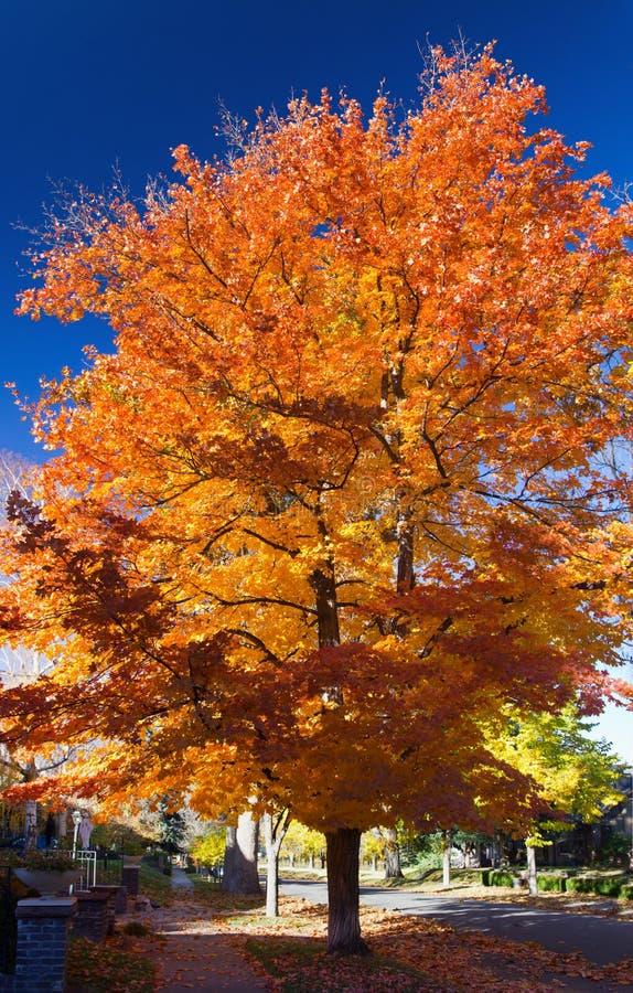 Tall Colorful Fall Tree Along City Street royalty free stock photos