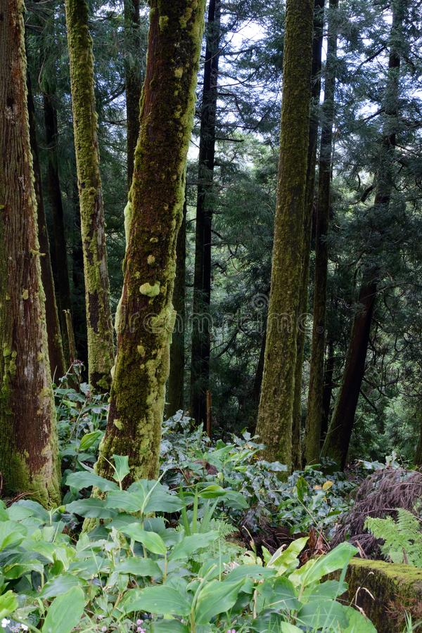 Tall conifers are covered with green moss. Wet forest on the island of San Miguel, Portugal. The ecosystem of the Azores. Jungle.  royalty free stock photography