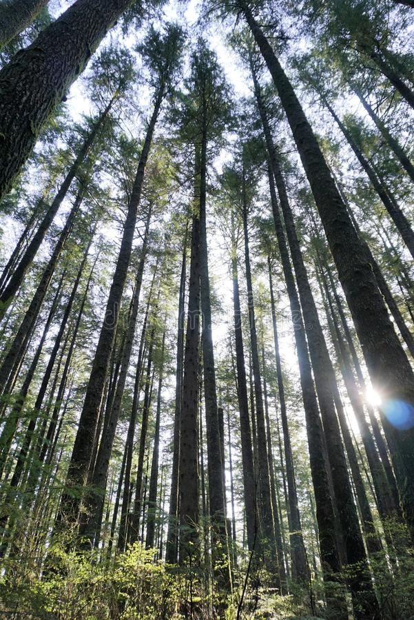 Tall conifers. A stand of tall conifers tower in the early morning sunshine royalty free stock photography