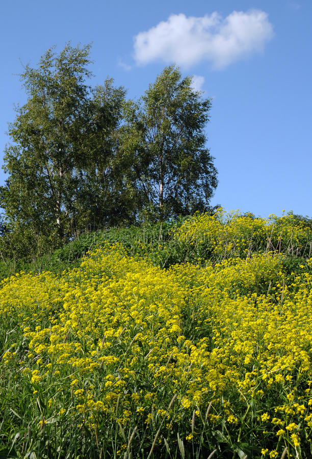 Download Tall Crowfoot Flowers And Birch Trees Stock Photo - Image: 25241354