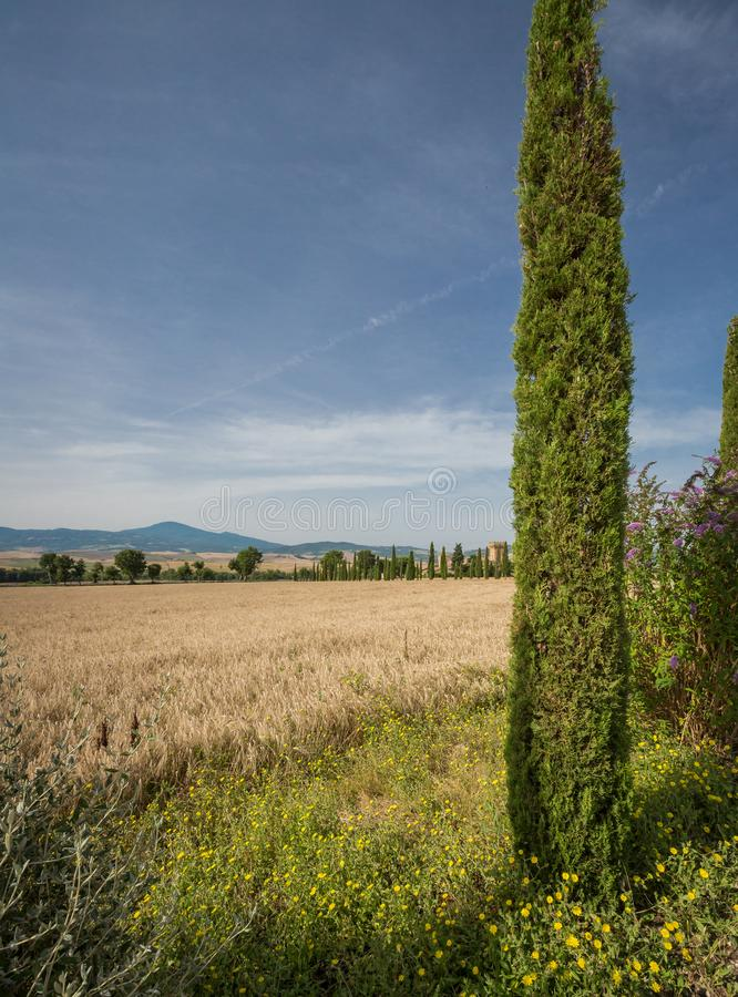 Cypress Tree Frames Field Of Wheat In Tuscany, Italy Stock Image ...