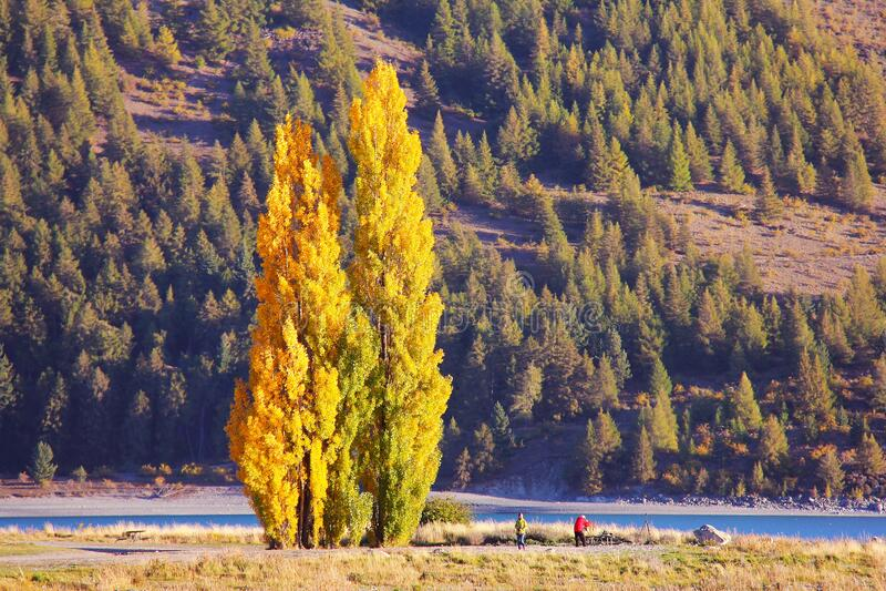 Tall cypress tree royalty free stock image