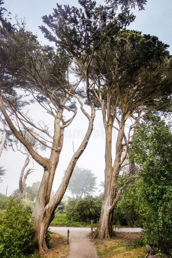 Tall cypress trees in on a foggy background, Moss Beach, California royalty free stock photography