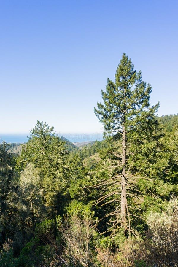 Tall Douglas Fir Pseudotsuga menziesii on the coastal hills of San Francisco bay peninsula, California stock photography