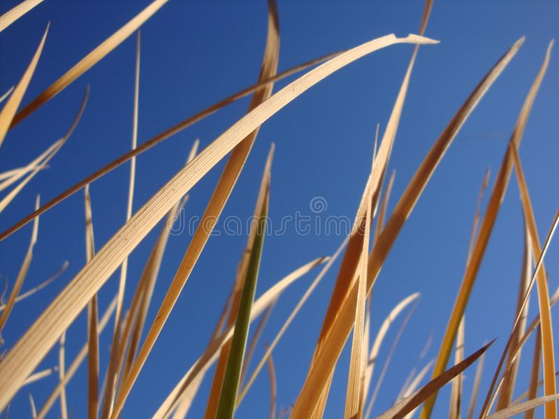 Tall dry grass sway in the background blue sky royalty free stock photography