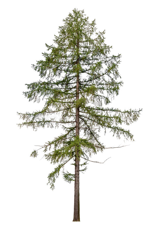 Free Tall European Larch Tree Isolated On White Royalty Free Stock Photos - 41657198