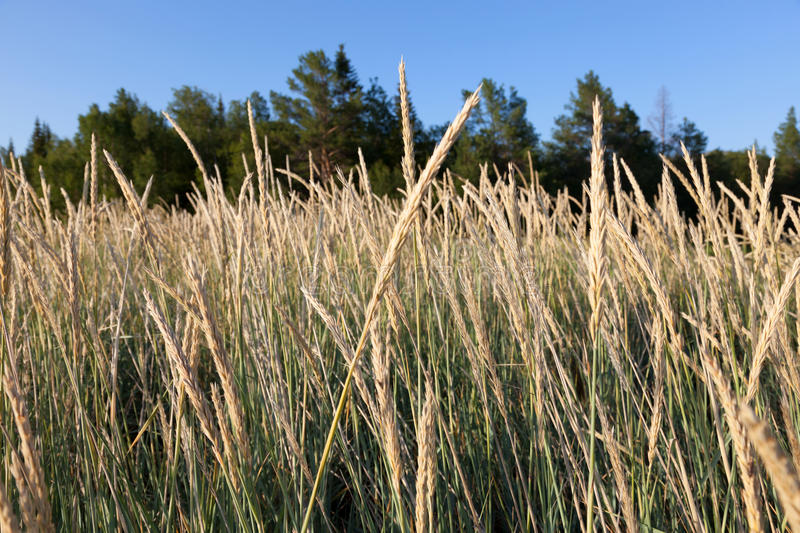 Tall Fescue (Festuca arundinacea). Fescue grass in a forest in a sunny summer day royalty free stock image