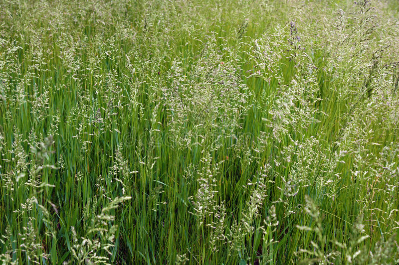 The tall fescue. The meadow grass tall fescue Festuca partensis in spring royalty free stock images