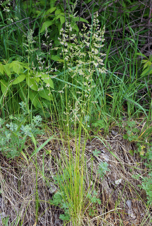 The tall fescue. The meadow grass tall fescue Festuca partensis in spring stock photos