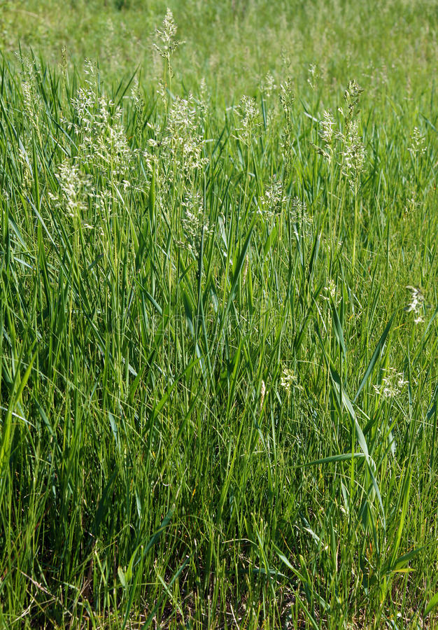 The tall fescue. The meadow grass tall fescue Festuca partensis in spring royalty free stock image