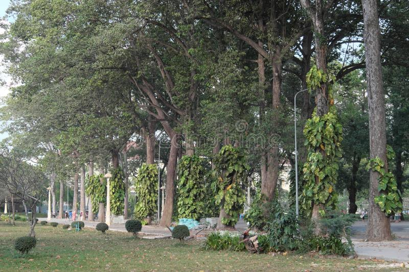Tall ficus trees in one of the Siem Reap city parks. tropical greens. Tall ficus trees in one of the Siem Reap city parks stock images