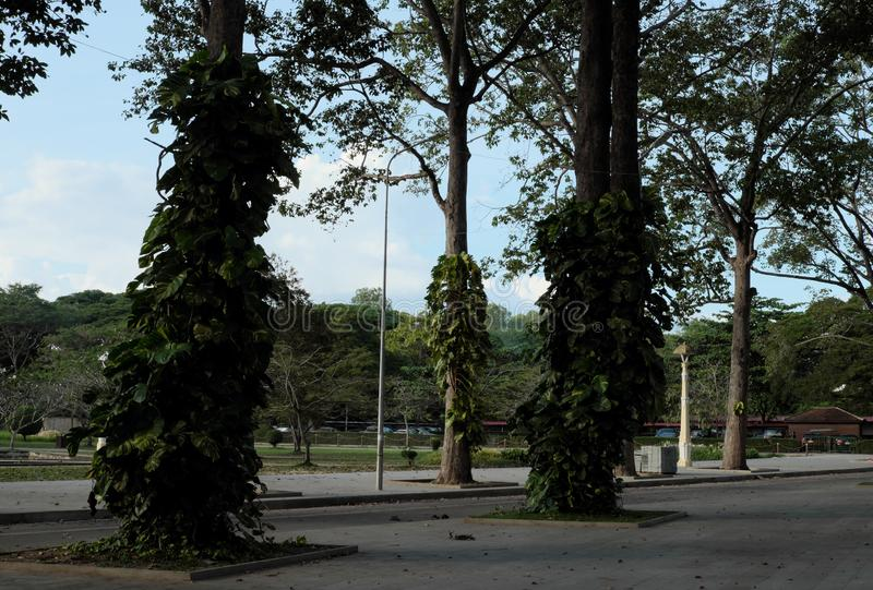 Tall ficus trees in one of the Siem Reap city parks. tropical greens.  stock photos