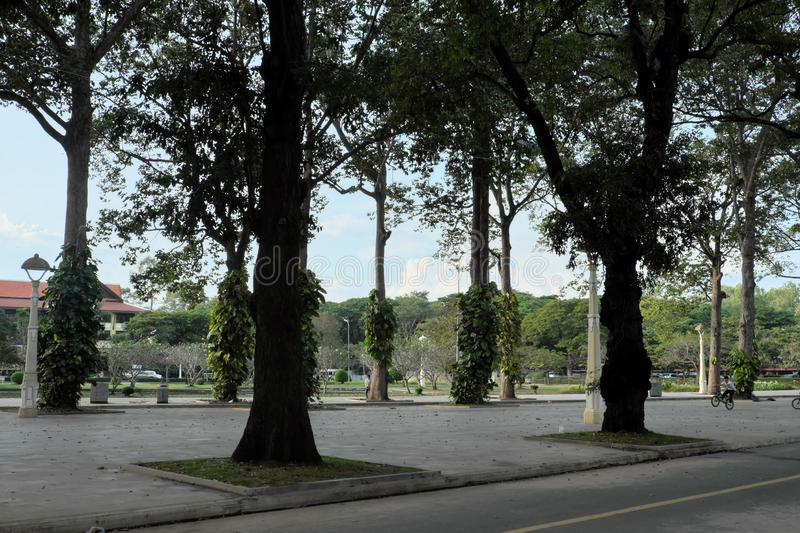 Tall ficus trees in one of the Siem Reap city parks. tropical greens.  royalty free stock photo
