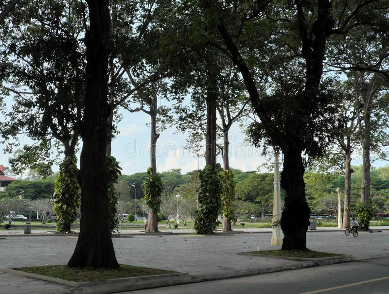 Tall ficus trees in one of the Siem Reap city parks. tropical greens.  royalty free stock photography